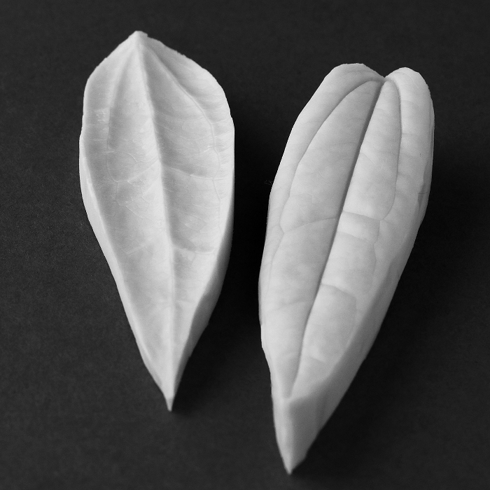 Clematis (Armandii) Single Leaf Botanically Correct (Small) Veiner By Robert Haynes