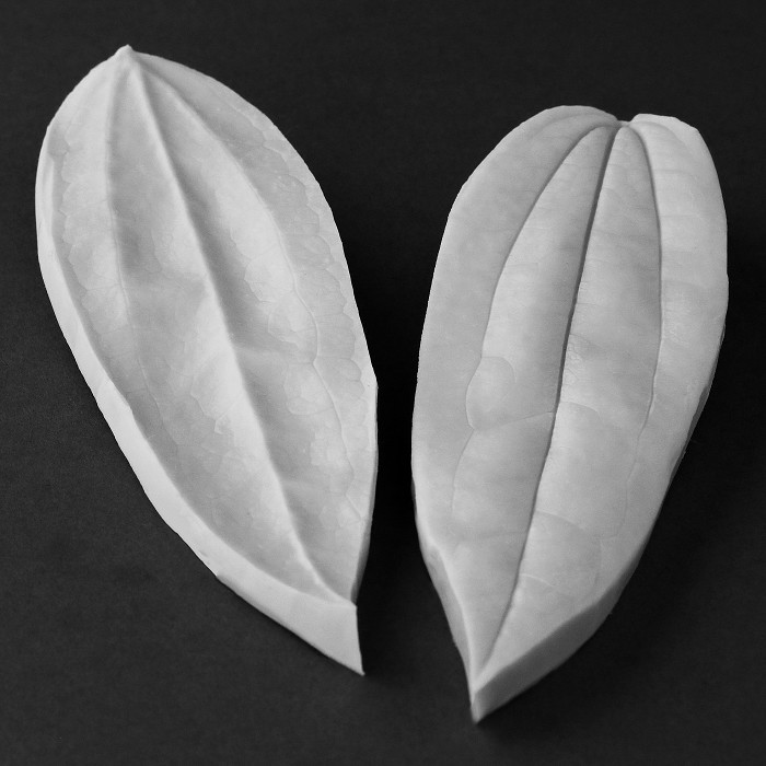 "The Clematis (Armandii) Single Leaf measures  Medium L 15 cm x W 4.5 cm, Medium (L 6"" x W 3/4""). This distinctive range of botanically correct products are designed by master sugar artist Robert Haynes.  These quality products can be used to replicate time and again, stunning life like flora in any edible or non-edible medium of your choice.  Robert personally selects each petal, leaf, flower center, fruit and bud to create a double-sided silicone mold capturing their shape, vein structure and unique botanical imprint, giving you the ultimate tools to reproduce stunning results.  All molds are hand poured at Sugar Delites (USA) using a high-quality platinum based silicone, specially formulated for use in the food and confectionary industry and fully compliant to FDA and EU regulations.  They can be purchased at www.SugarDelites.com and other worldwide locations. Copyright © 2016 - Sugar Flower Studio Botanically Correct Products"