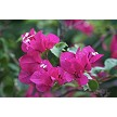 Real Bougainvillea In Photo