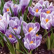 Real Crocus