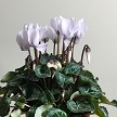 Real Cyclamen Flowers Pictured