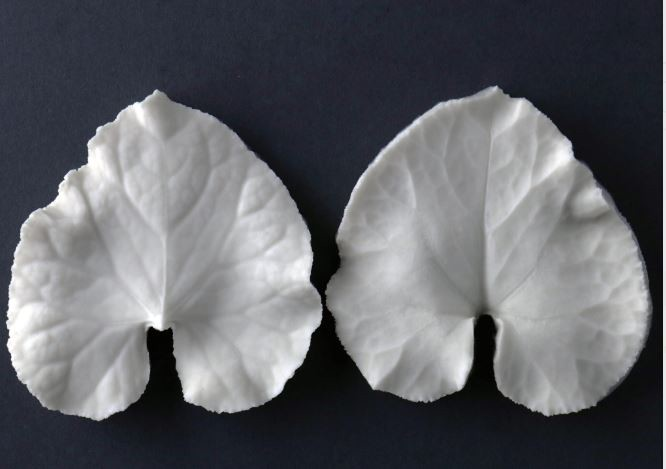 "Cyclamen single large leaf veiner measurements – large leaf length 4.7 cm x width 6.6 cm. (large leaf length 1 7/8"" x width 2 5/8""). This distinctive range of botanically correct products are designed by master sugar artist Robert Haynes. These quality products can be used to replicate time and again, stunning life like flora in any edible or non-edible medium of your choice.  Robert personally selects each petal, leaf, flower center, fruit and bud to create a double-sided silicone mold capturing their shape, vein structure and unique botanical imprint, giving you the ultimate tools to reproduce stunning results.  All molds are hand poured at Sugar Delites (USA) using a high-quality platinum-based silicone, specially formulated for use in the food and confectionary industry and fully compliant to FDA and EU regulations.  They can be purchased at www.SugarDelites.com and other worldwide locations. Copyright © 2016 - Sugar Flower Studio Botanically Correct Products"