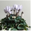 Real Cyclamen Plant