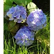 Pictured Are Fresh Hydrangea Mixed With Sugar Hydrangea By Robert Haynes