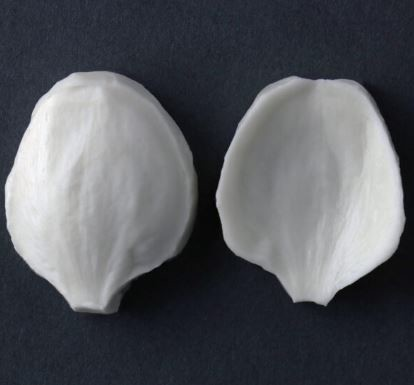"Mock Orange single large petal measurements – petal length 3.1 cm x width 2.3 cm. (petal length 1 1/4"" x width 15/16""). This distinctive range of botanically correct products are designed by master sugar artist Robert Haynes. These quality products can be used to replicate time and again, stunning life like flora in any edible or non-edible medium of your choice.  Robert personally selects each petal, leaf, flower center, fruit and bud to create a double-sided silicone mold capturing their shape, vein structure and unique botanical imprint, giving you the ultimate tools to reproduce stunning results.  All molds are hand poured at Sugar Delites (USA) using a high-quality platinum-based silicone, specially formulated for use in the food and confectionary industry and fully compliant to FDA and EU regulations.  They can be purchased at www.SugarDelites.com and other worldwide locations. Copyright © 2016 - Sugar Flower Studio Botanically Correct Products"